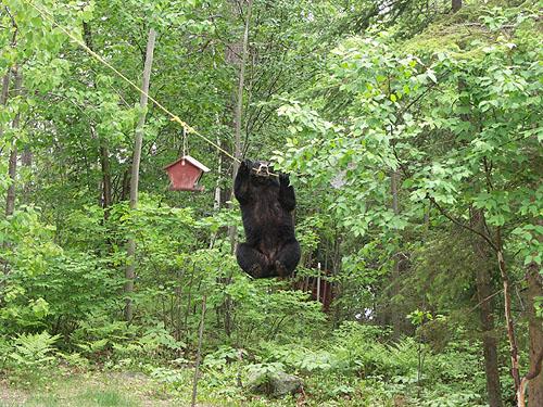 Black Bears & Tents-2.jpg