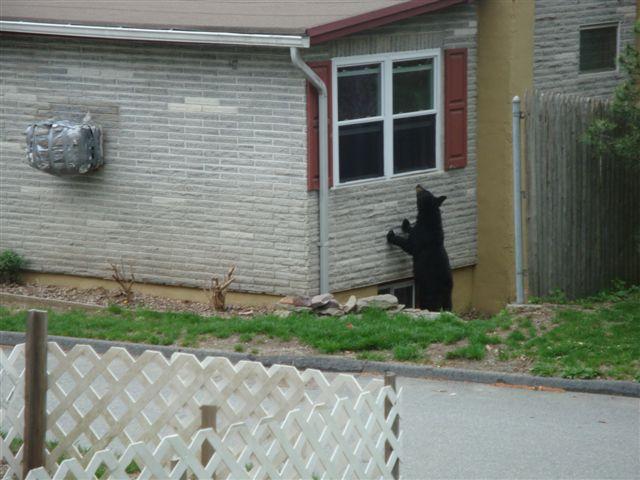 Black Bears & Tents-bear-cubs-003.jpg