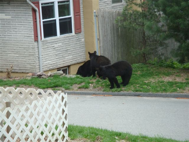 Black Bears & Tents-bear-cubs-004.jpg
