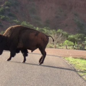 A lone bull crossing the road.
