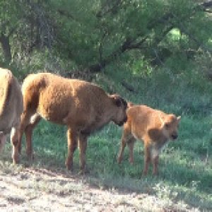 We got to see some calves.